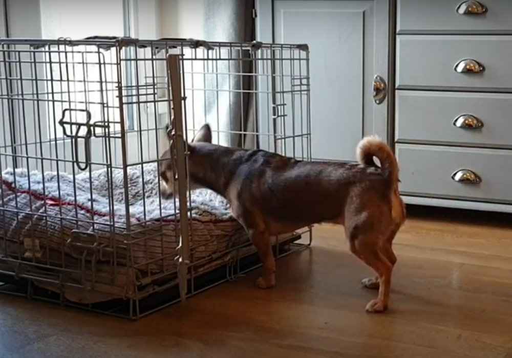 Pickle the Chihuahua cross learns to go into her dog crate on cue