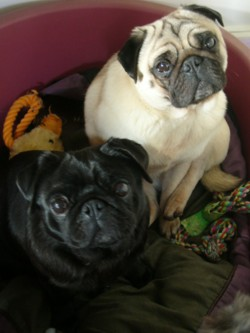 Testimonial Pug Dog training Brighton