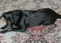 Labrador Retriever Alice Training Brighton Hove