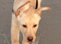 Labrador Retriever Baxter Training Brighton Hove