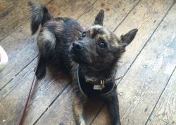 Terrier Beckett Training Brighton Hove