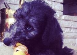 Bedlington Terrier Belsey Training Brighton Hove