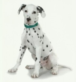 Testimonial Dalmatian Dog training Brighton BN2 Sussex