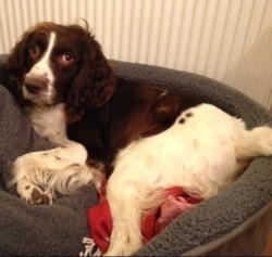 Testimonial Springer Spaniel training Hove BN3 Sussex