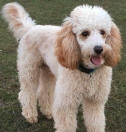 Testimonial Poodle Portslade BN41 Sussex