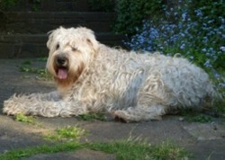 Testimonial Wheaten Terrier Dog training Hove BN3 Sussex
