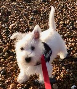 Testimonial Westie Highland White Terrier Kemptown BN2 Brighton