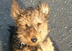 Welsh Terrier Kalle Training Brighton Hove