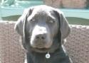 Labrador Retriever Keira Training Brighton Hove