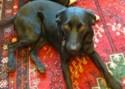 Labrador Retriever Lola Training Brighton Hove
