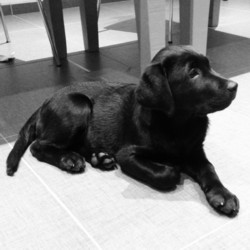 Testimonial Labrador puppy training Shoreham BN41 Sussex
