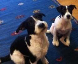Testimonial JRT Parsons Jack Russell Terrier training Portslade BN42 Sussex