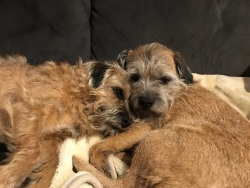 Testimonial Border Terrier Portslade BN41 Sussex