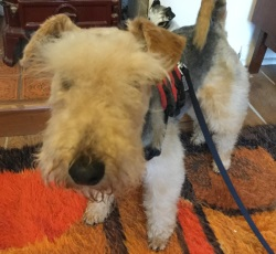 Testimonial Lakeland Terrier Ferring BN12 Sussex