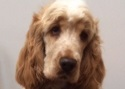 Cocker Spaniel Rosie Testimonial Training Brighton Hove