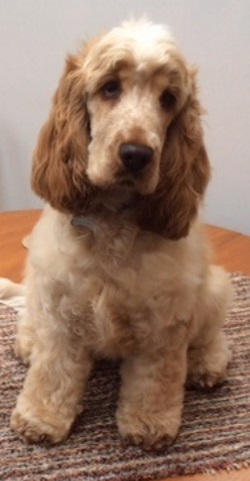 Testimonial Cocker Spaniel Woodingdean Brighton BN2 Sussex