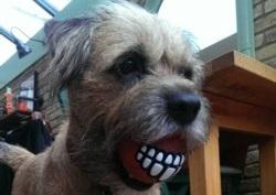 Sarge Border Terrier Training Brighton Hove
