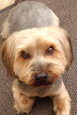 Testimonial Yorkshire Terrier Yorkie Lancing BN15 Sussex